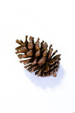 Cone of pine. The cone seed of pine or cycad Royalty Free Stock Images
