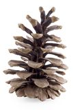 Cone pine. Isolated with clippling path Stock Images
