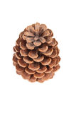 Cone of pine Royalty Free Stock Photography