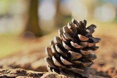 Cone pine closeup stock photography