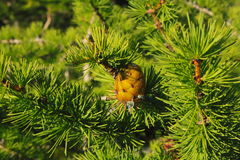 Cone at pine Royalty Free Stock Images