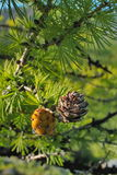 Cone at pine Stock Photo