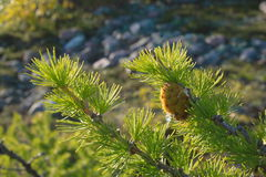 Cone at pine Stock Image