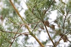 Cone on pine tree branch Royalty Free Stock Photos