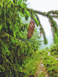 Cone on pine tree branch in heavy fog close-up Royalty Free Stock Image