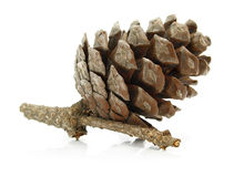 Cone pine-tree on branch isolated Royalty Free Stock Photos