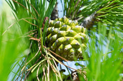 Cone. Pine tree branch with one green cone in soft focus Stock Images