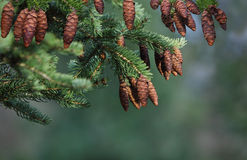 Cone Pine Tree Stock Image