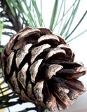 A cone of pine tree. Is on fullscreen captured from its branch Stock Image
