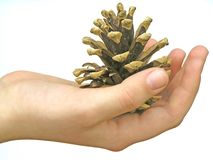 Cone of pine-tree in the hand of girl Royalty Free Stock Photo