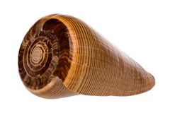 Cone Sea Shell Stock Image