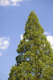 Cone shaped tree and sky Royalty Free Stock Photography