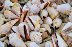 Cone shells Stock Photos