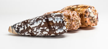 Cone Shells. Three different shells of cone snails Royalty Free Stock Image