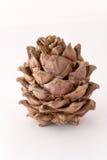 Cone Siberian do pinho Fotografia de Stock