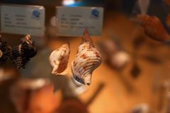 Cone snail Royalty Free Stock Photo