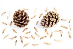 Cone with spores Royalty Free Stock Image