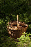 Cone spruce Stock Image