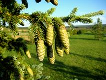 Cone spruce Stock Images