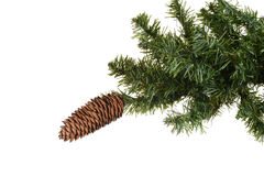 Cone on spruce tree Royalty Free Stock Image