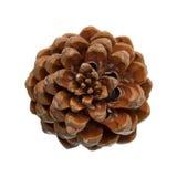 Cone of Stone pine, Pinus Pinea Stock Photos