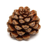 Cone of Stone pine, Pinus Pinea Royalty Free Stock Images