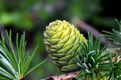 Cone verde com gotas da resina fotografia de stock royalty free