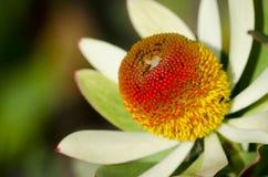 Conebush Protea. Growing near Cape Town stock photo