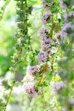 Conecta en cascada la lila del verano Imagenes de archivo