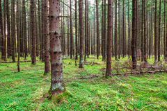 Coneferous forest Stock Photography
