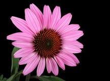 coneflower海胆亚目紫色 图库摄影