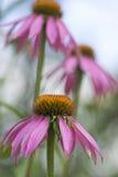 coneflower海胆亚目紫色purpurea 图库摄影