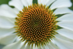 coneflower λευκό Στοκ εικόνες με δικαίωμα ελεύθερης χρήσης