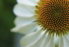 coneflower λευκό Στοκ φωτογραφία με δικαίωμα ελεύθερης χρήσης