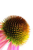 coneflower μακρο πορφύρα echinacea Στοκ Φωτογραφία