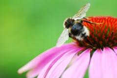 coneflower пчелы Стоковые Фотографии RF