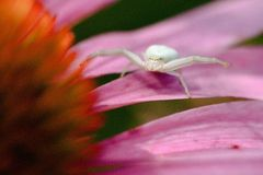 Coneflower с пауком Стоковое фото RF