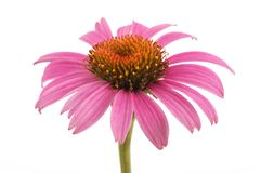 coneflower photos stock