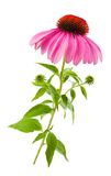 Coneflower Royalty Free Stock Image