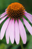 coneflower Royalty-vrije Stock Foto