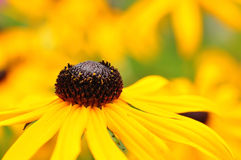 coneflower Immagine Stock