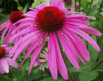 coneflower Stockbilder