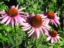 Coneflower. Echinecea or pink coneflower useful for medicinal purposes royalty free stock photos