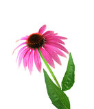 Coneflower Stock Image