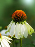 coneflower Images stock