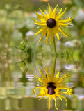 Coneflower above water with reflection Stock Image