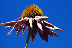 Coneflower against a blue sky royalty free stock image