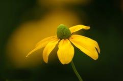 Coneflower amarillo Imagen de archivo libre de regalías