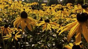 Coneflower amarillo Fotografía de archivo