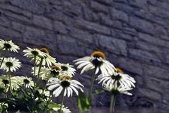 Coneflower bianco, echinacea, grandi margherite fotografia stock